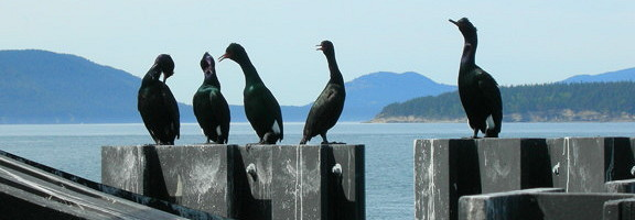 cormorants at the ferry dock