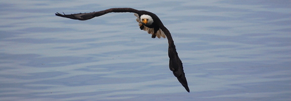 Bald Eagle, by Alex Shapiro