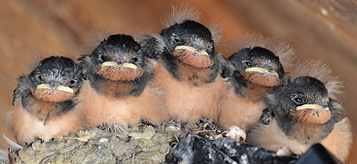 A newly formed quintet of five baby swallows.