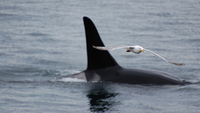 orca whale and gull