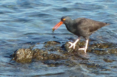 [IMAGE] Oystercatcher /><br /> <span style=