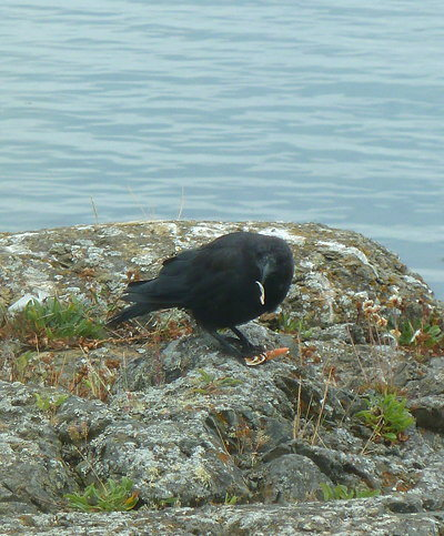[IMAGE] crow eating crab