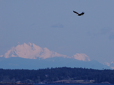 [IMAGE] Bald Eagle soaring past Cascades