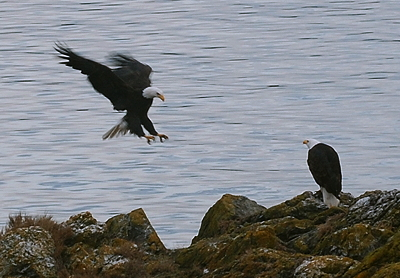 Bald Eagle returning; photo by Alex Shapiro.