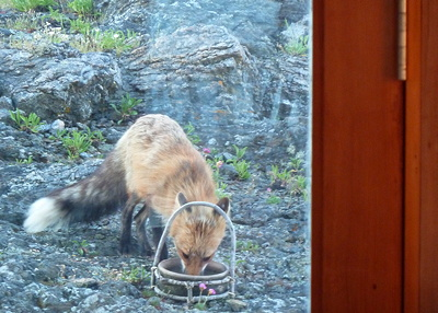 [IMAGE] red fox eating birdseed