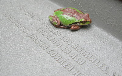 [IMAGE] Pacific Tree frog