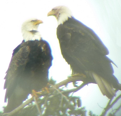 [IMAGE] bald eagle pair