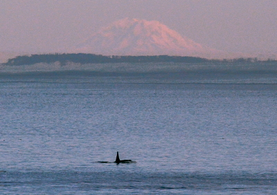 [IMAGE] Orca and Mt. Rainier, July 1, 2014.