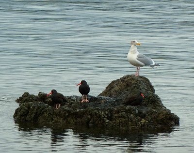 [IMAGE] Oystercatchers and gull