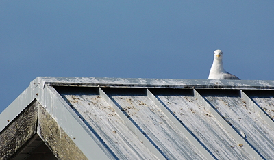 [IMAGE] gull on roof