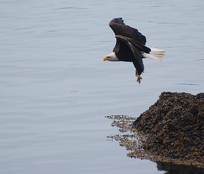 [IMAGE] Bald eagle