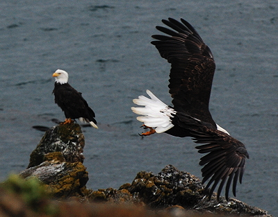 [IMAGE] Two Bald Eagles