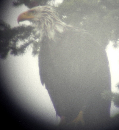 [IMAGE] wet bald eagle